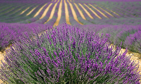 Discover the French countryside of purple lavender when you drop anchor on a France yacht charter
