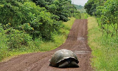 A giant turtle in the middle of a long dirt track in the middle of the vegetation of the wild Galapagos Islands yacht charter