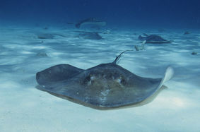800px-Southern_stingrays_at_stingray_city